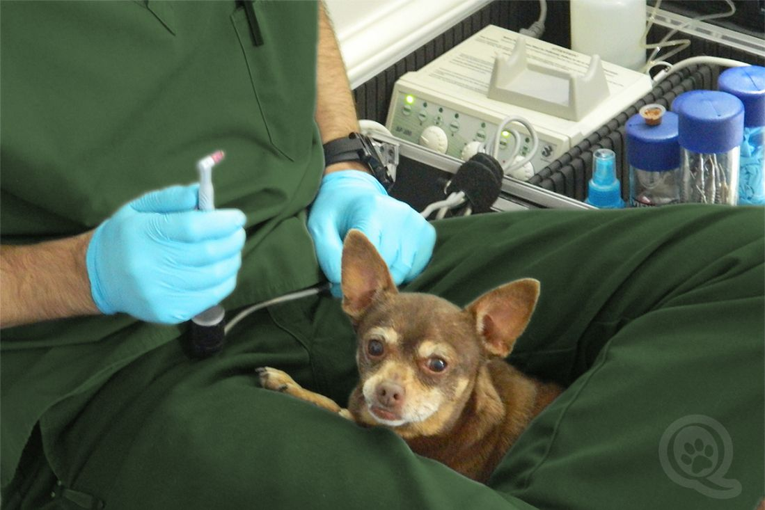 Qualified Hygienist performs teeth cleaning for dogs